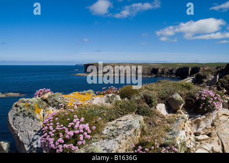 dh  YESNABY ORKNEY Seapinks on seacliff top rocky coast - Stock Photo