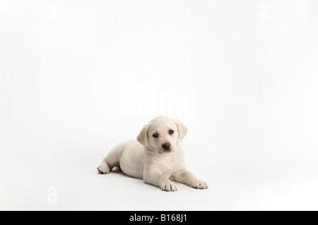 Labrador puppy posing on white background - Stock Photo