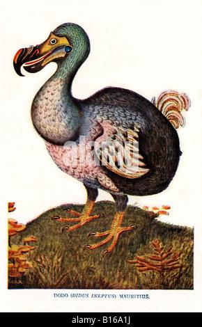 The Dodo Victorian illustration of the flightless bird didus ineptus from Mauritius extinct by 1681