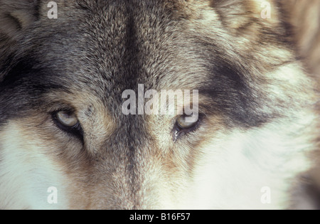 GRAY WOLF CANIS LUPUS ALSO KNOWN AS TIMBER WOLF PORTRAIT animal animals canidae canids canis Canis lupus carnivora - Stock Photo