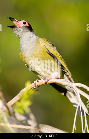 Figbird singing - Stock Photo