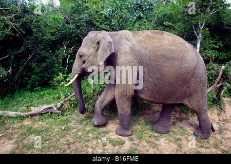 Elephant crossing jeep track. Yala West National Park (Ruhuna), Sri lanka. - Stock Photo