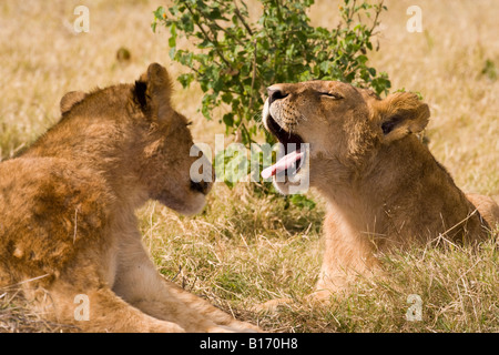 Closeup wildlife in funny pose baby lion cubs talking one yawning mouth wide open sticking tongue out other looking - Stock Photo