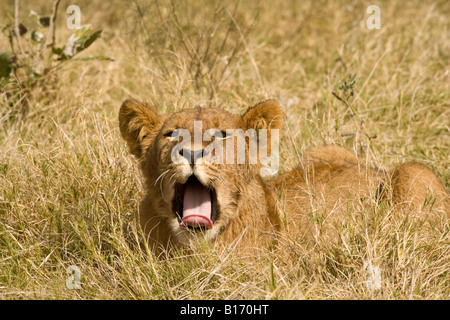 Closeup cute funny lion cub yawning mouth open wide tongue out lying in  warm sunshine in open grass facing view - Stock Photo