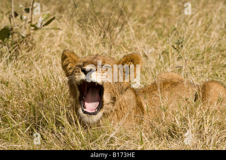 Closeup funny baby lion cub mouth open talking squinting mouth wide open showing teeth singing or saying Ahh lying in grassy field soft background