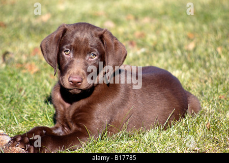 Purebred Chocolate Labrador Retriever Puppy - Stock Photo