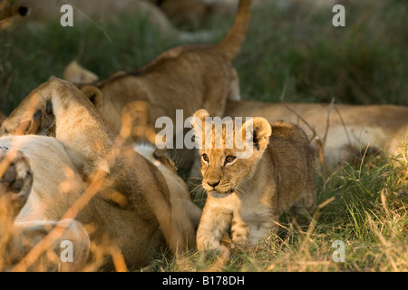 Closeup tiny cute wild baby lion cub, leg raised, walking lit by warm sunset light in green grass beside big mother - Stock Photo