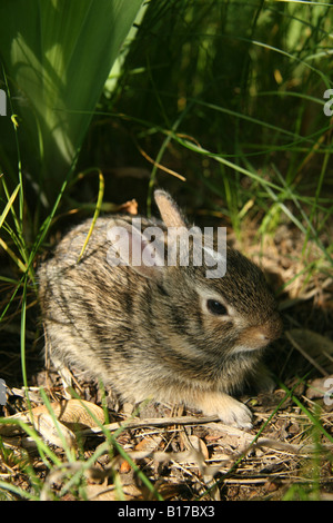Eastern Cottontail (Sylvilagus floridanus) rabbit kitten in grass and weeds. The babies have a white mark on their - Stock Photo