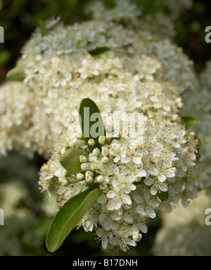 PYRACANTHA FIRETHORN BLOSSOM - Stock Photo