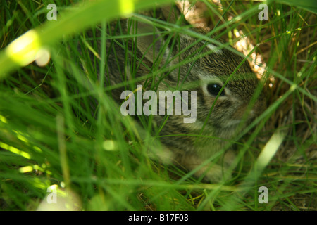 Eastern Cottontail (Sylvilagus floridanus) rabbit - Stock Photo