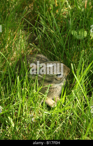 Eastern Cottontail rabbit kitten hiding in tall grass. - Stock Photo