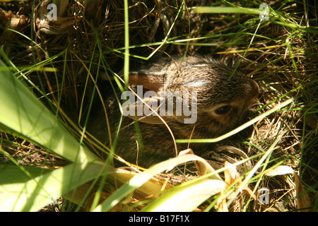 Eastern Cottontail (Sylvilagus floridanus) rabbit kitten coming out of a hole. The babies have a white mark on their - Stock Photo