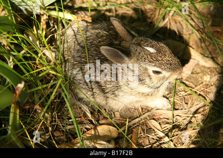 Eastern Cottontail rabbit kitten in tall grass and weeds. - Stock Photo