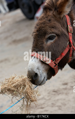 head and face of a donkey with bridle tied with blue rope eating straw at the ballyclare may fair - Stock Photo
