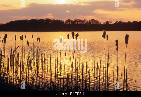 FRENSHAM GREAT POND at SUNSET with Reedmace in foreground against sunshine reflected on water. Farnham Surrey England - Stock Photo