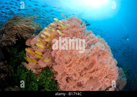 shoal of Jewel basslet and sea fans Pseudanthias squamipinnis Acalycigorgia sp Maolboal Cebu Philippines - Stock Photo