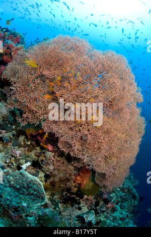 Jewel basslet and sea fans Pseudanthias squamipinnis Acalycigorgia sp Maolboal Cebu Philippines - Stock Photo