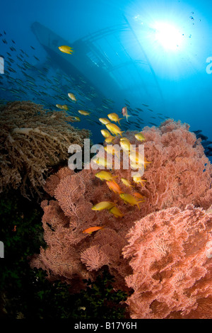 Jewel basslet and sea fans under outrigger boat Pseudanthias squamipinnis Acalycigorgia sp Maolboal Cebu Philippines - Stock Photo