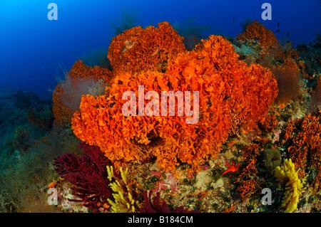 Colony of orange Bryozoans Pentapora fascialis Triscavac Bay Susac Island Adriatic Sea Croatia - Stock Photo