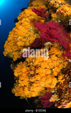 Colony of orange Bryozoans Pentapora fascialis Triscavac Bay Susac Island Adriatic Sea Croatia - Stock Photo