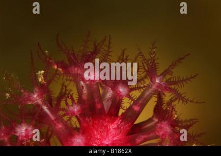 Red Gorgonia Polyp Detail Paramuricea clavata Triscavac Bay Susac Island Adriatic Sea Croatia - Stock Photo
