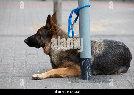 alsatian german shepherd dog tied to post waiting for owner ballyclare northern ireland - Stock Photo