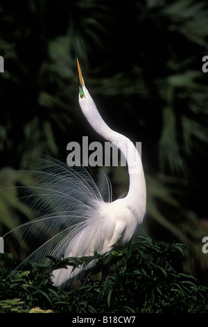 Great Egret courtship display in breeding plumage Casmerodius albus - Stock Photo