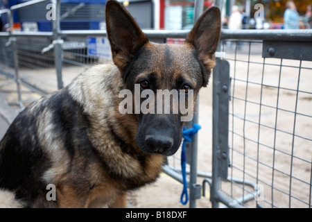 alsatian german shepherd dog tied to fence waiting for owner ballyclare northern ireland - Stock Photo