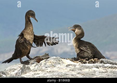 A male Flightless Cormorant returns to the nest, Fernandina island, Galapagos - Stock Photo