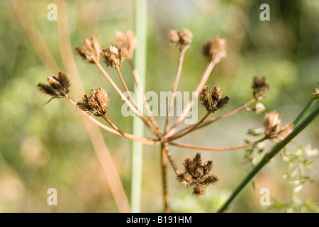 orlaya grandiflora apiaceae - Stock Photo