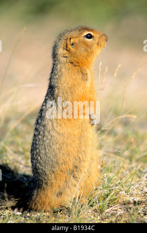 Arctic ground squirrel (Spermophilus parryii), Barrenlands, Nunavut, Arctic Canada. - Stock Photo
