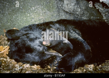 Hibernating mother black bear (Ursus americanus) with three-month old cub. - Stock Photo