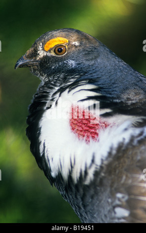 Adult male dusky grouse (Dendragapus obscurus), formerly called blue grouse, in spring mating display, Rocky Mountain - Stock Photo