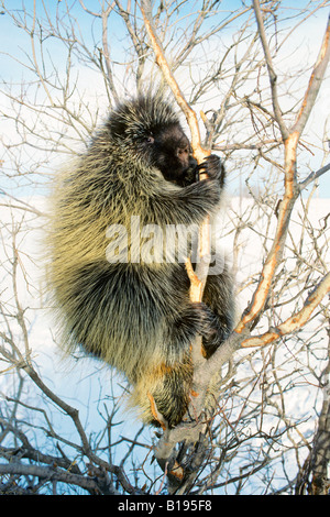 Adult porcupine (Erethizon dorsatum) foraging on bark on a winter day, Rocky Mountain foothills, Alberta, Canada - Stock Photo