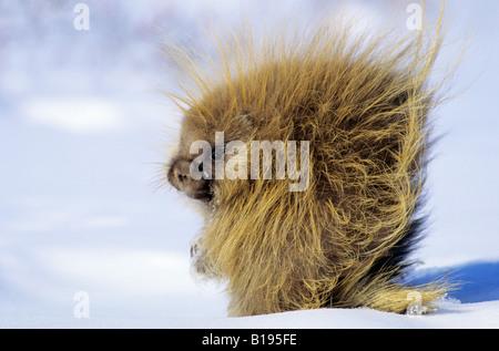 Adult porcupine (Erethizon dorsatum) foraging on rose hips on a winter day, northern Saskatchewan, Canada - Stock Photo