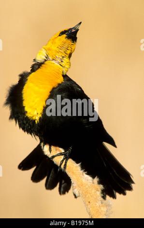 Spring courtship display of the male yellow-headed blackbird (Xanthocephalus xanthocephalus), prairie Alberta, Canada - Stock Photo