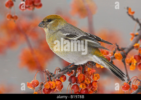 A female Pine Grosbeak (Pinicola enucleator) perched in a crabapple tree in Guelph, Ontario Canada. - Stock Photo