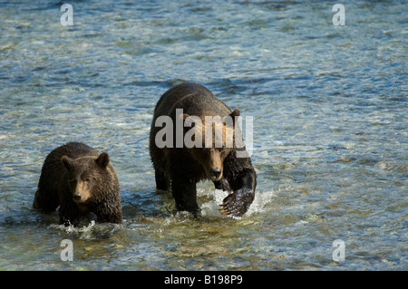 Grizzly Bear (Ursus arctos) Female  with Yearling walking in Salmon Spawning stream. Fish Creek Tongass National - Stock Photo