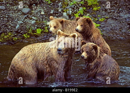 Mother brown bear (Ursus arctos) fishing for salmon with her triplet yearling cubs, coastal Alaska. - Stock Photo