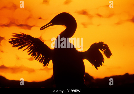 Flightless cormorant (Nannopterum harrisi), Fernandina Island, Galapagos Archipelago, Ecuador - Stock Photo