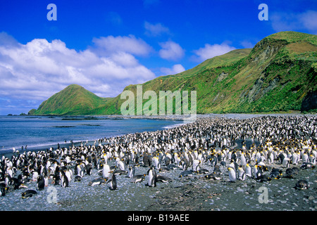 King penguins (Aptenodytes patagonicus) and royal penguins (Eudyptes schlegeli) loafing on the beach in Lucitania - Stock Photo