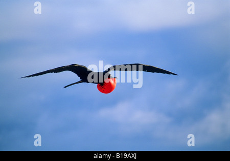 Adult male magnificent frigatebird (Fregata magnificens) displaying to females perched on the ground, North Seymour - Stock Photo