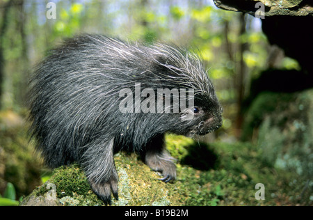 A month-old baby porcupine (Erethizon dorsatum) outside the entrance to its den. Eastern USA. - Stock Photo