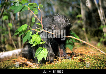 A month-old baby porcupine (Erethizon dorsatum) chewing on the bark of a wild raspberry bush.  Eastern USA. - Stock Photo