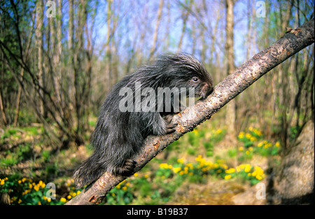 A month-old baby porcupine (Erethizon dorsatum) climbing a tree outside its den.  Eastern USA. - Stock Photo