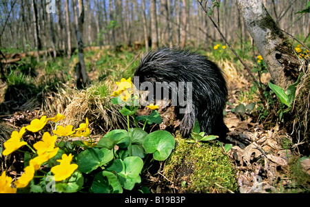 Month-old baby porcupine (Erethizon dorsatum) in a bed of marsh marigolds, eastern USA. - Stock Photo