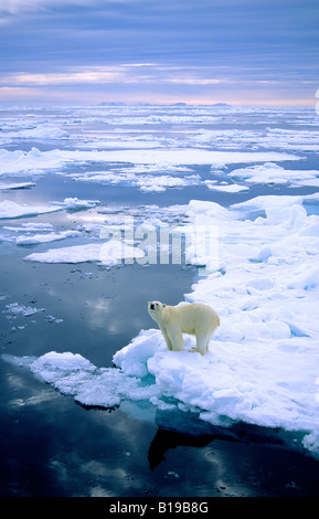 Adult polar bear (Ursus maritimus) hunting on pack ice.  Svalbard, Norway. - Stock Photo