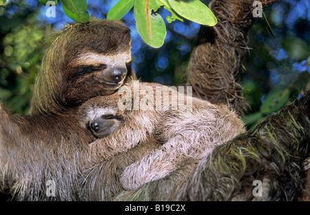 Mother three-toed sloth (Bradypus variegatus) and young, coastal mangroves, Panama, Central America.