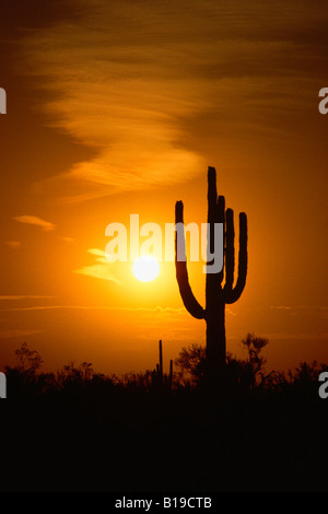 Silhouette of Saguaro Cactus Carnegiea gigantea at sunset - Stock Photo
