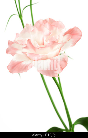 Pink lisianthus - Stock Photo